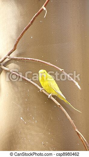 Yellow Parakeet on Limb - csp8980462