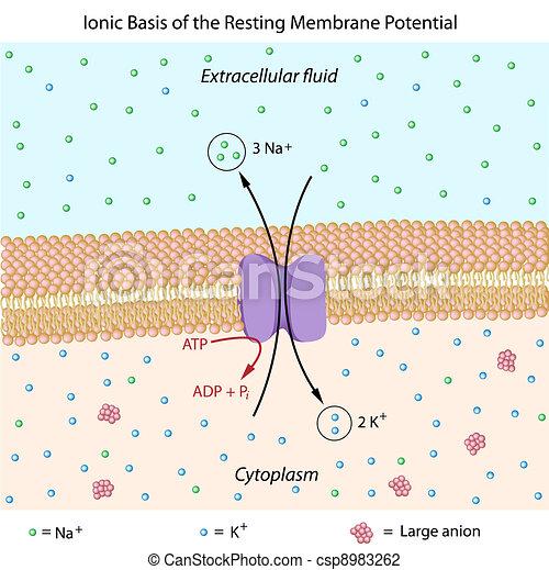 Resting membrane potential - csp8983262