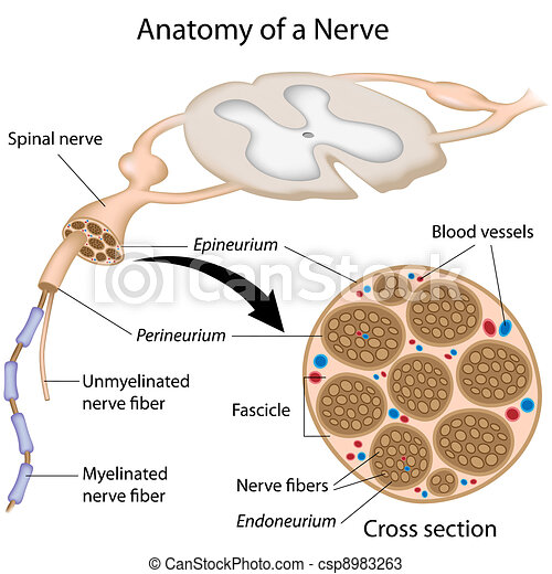 Anatomy of a nerve - csp8983263