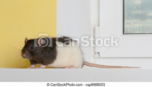 rat on a window sill - csp8988003