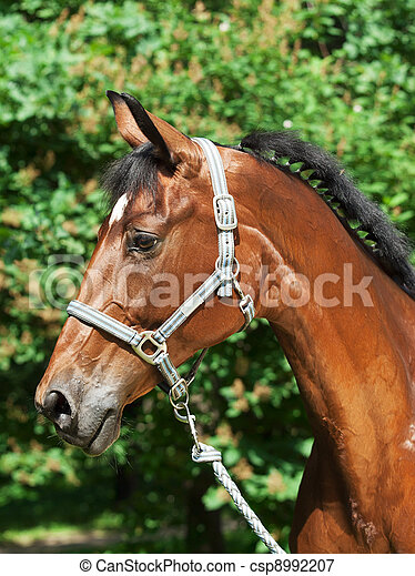 portrait of beautiful bay sportive mare - csp8992207
