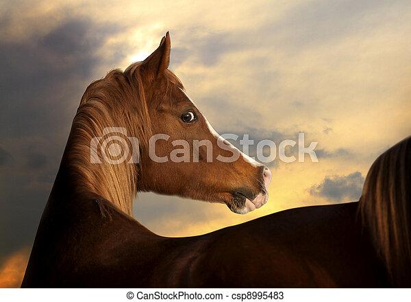 arabian horse - csp8995483