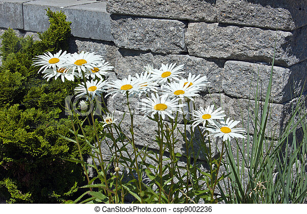 Leucanthemum maximum flowers - csp9002236