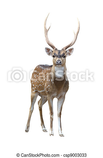 male axis deer - csp9003033