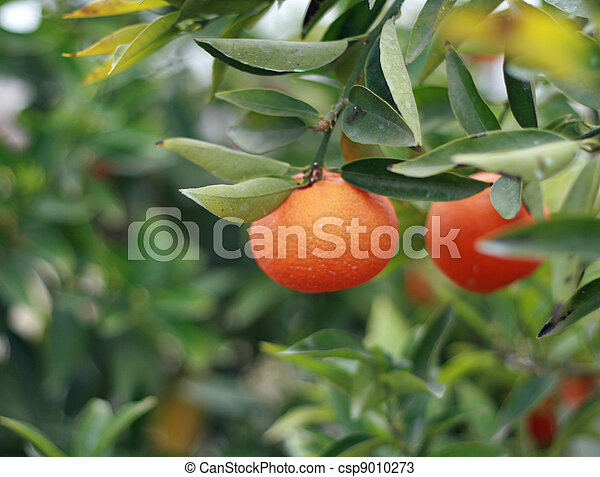 cultivation of citrus fruits of all kinds in a greenhouse in Sicily - csp9010273