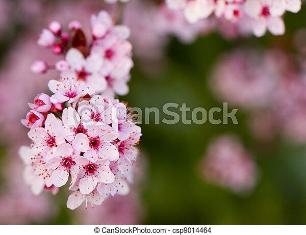 Peach flowers - csp9014464