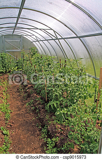 young tomatoes in plastic hothouse - csp9015973