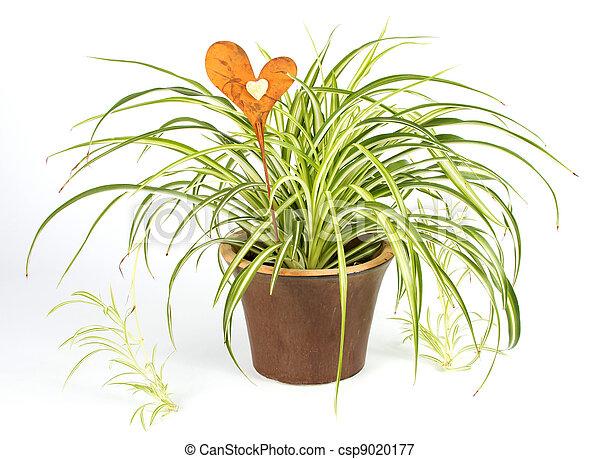bilder von dekoration herz pflanze spinne spider pflanze in a csp9020177 suchen