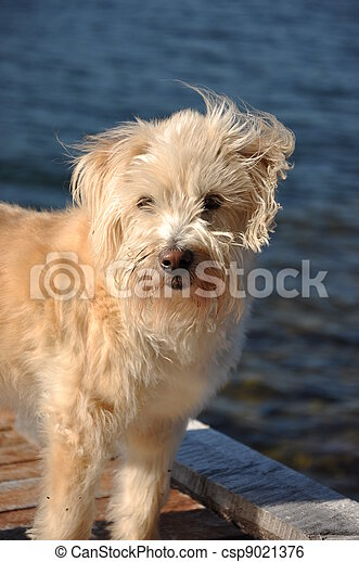 shaggy dog on wharf - csp9021376