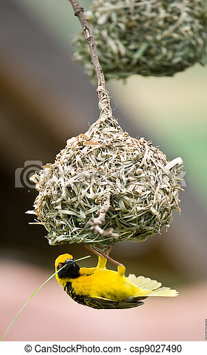 Golden weaver bird building nest - csp9027490