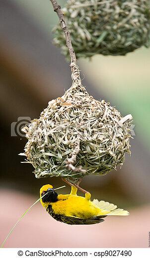 Golden weaver bird building nest - csp9027490