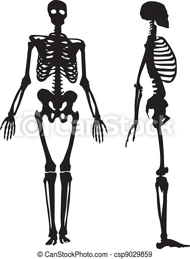 clip art vector of human skeleton vector illustration - human body, Skeleton