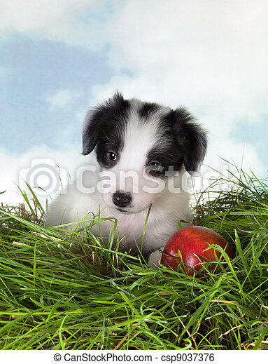 Border collie puppy in grass - csp9037376