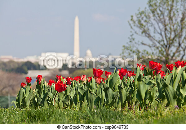 Blooming red tulips in the foreground with an out of focus view of Washington DC skyline in late afternoon on a sunny day with Lincoln Memorial, Washington Monument and the Capitol - csp9049733