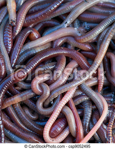 Huge amount of earthworms close to fishing - csp9052495