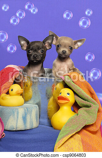 stock fotos von chihuahua junge hunde badewanne zwei wenig chihuahua csp9064803. Black Bedroom Furniture Sets. Home Design Ideas