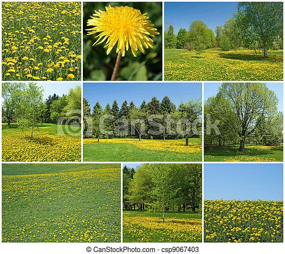 Blooming dandelions in spring garden - csp9067403