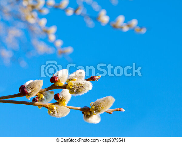 Branch with willow buds (pussy willows) with sunlight , spring photo - csp9073541