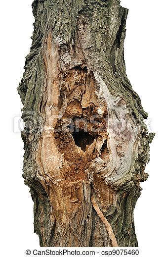 The tree-trunk of white acacia - csp9075460