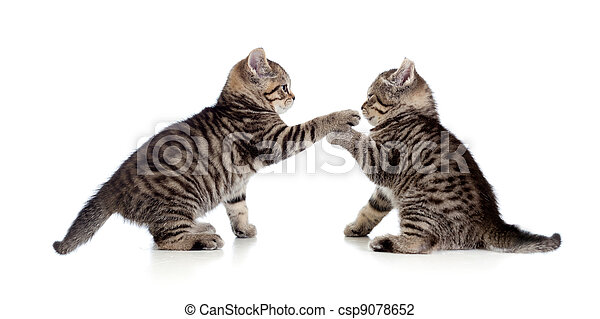 two little kittens playing together - csp9078652