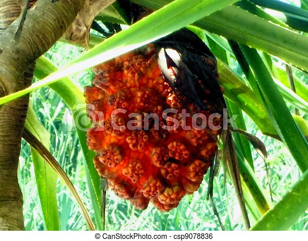 image de arbre fruitier mer pandanus sea pandanus fruit aimer csp9078836 recherchez. Black Bedroom Furniture Sets. Home Design Ideas