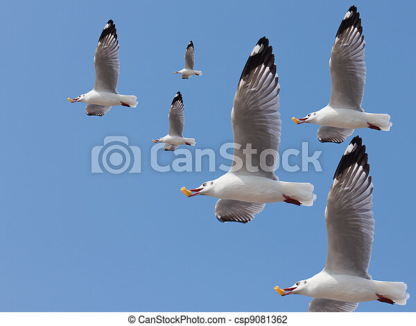 Group of seagulls fly and feed at the mouth - csp9081362