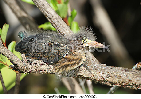 Green Heron Nestling - csp9094074