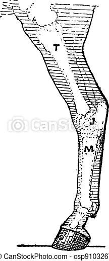 Horse leg, vintage engraving. - csp9103267