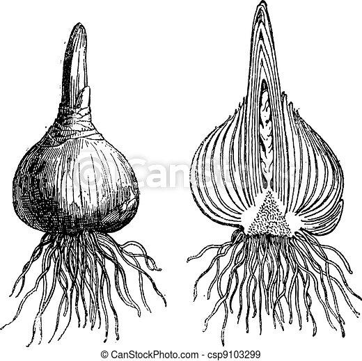 Hyacinth whole onion, Hyacinth cut onion, vintage engraving. - csp9103299