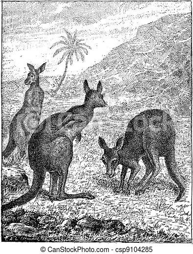 Kangaroo, vintage engraving. - csp9104285