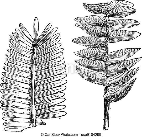 Jurassic age, Pterophyllum jaegeri, otozamites decorus, vintage engraving. - csp9104288