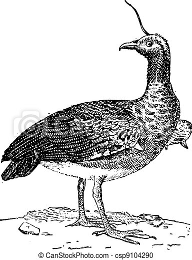 Kamichi or Horned Screamer (Anhima cornuta), vintage engraving. - csp9104290
