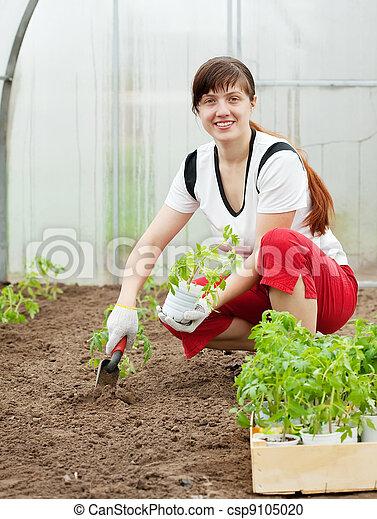 woman planting tomato spouts - csp9105020