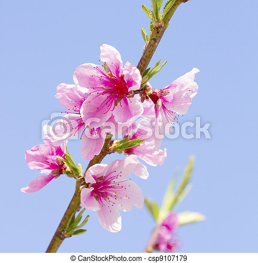 Peach flowers - csp9107179