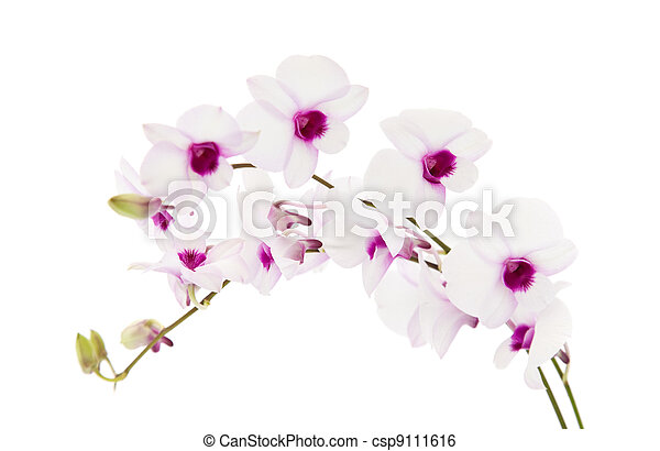 beautiful white; dentrobium orchid with dark purple centers; isolated on white background; - csp9111616