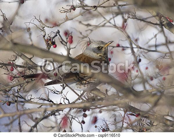 Fieldfare Blackbird sitting in a hawthorn bush. - csp9116510