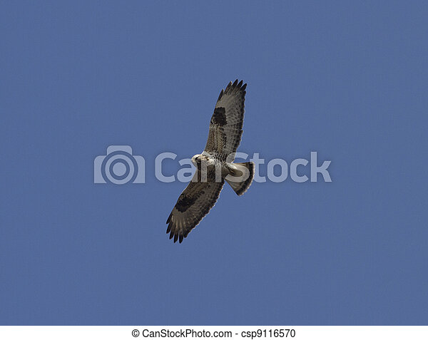 Rough-legged buzzard soaring in the blue sky-2. - csp9116570