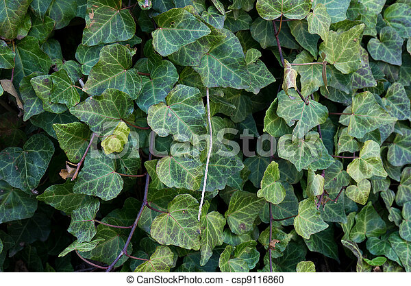 Invasive plant English Ivy - csp9116860