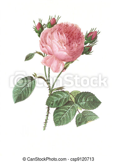 flower antique illustration rosa centifolia - csp9120713