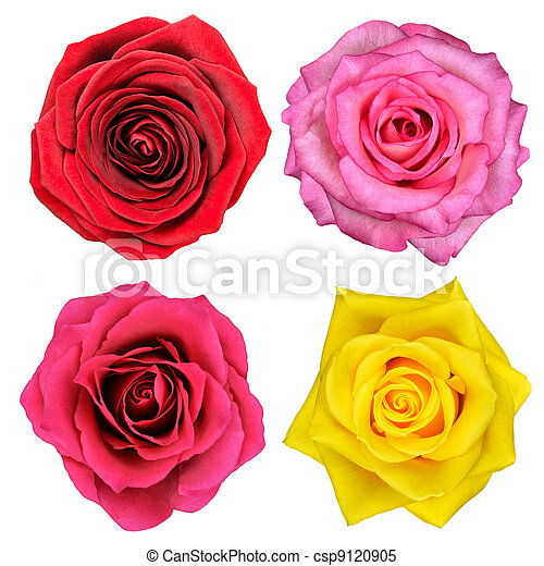 Four Rose Flowers Isolated on White - csp9120905