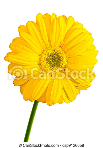 Yellow Gerbera flower isolated - csp9126659