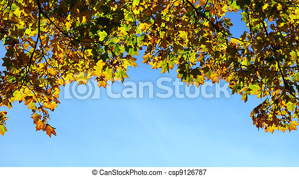 maple leaves, golden autumn - csp9126787