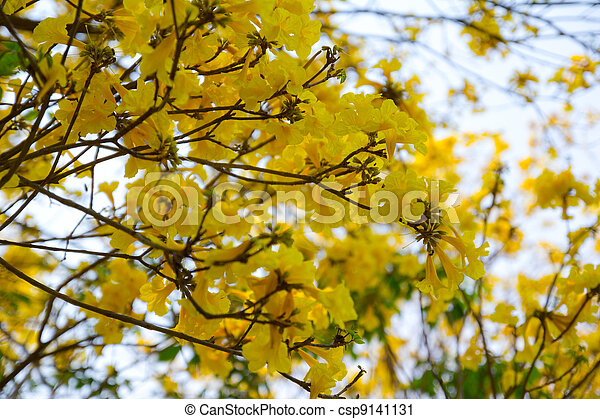 photographies de tabebuia arbre fleurs dans jaune dans printemps dans csp9141131. Black Bedroom Furniture Sets. Home Design Ideas