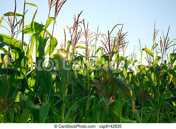 Corn field in the morning - csp9142835