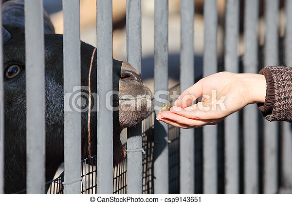 Mountain Goat in zoological garden getting fed from female hand - csp9143651