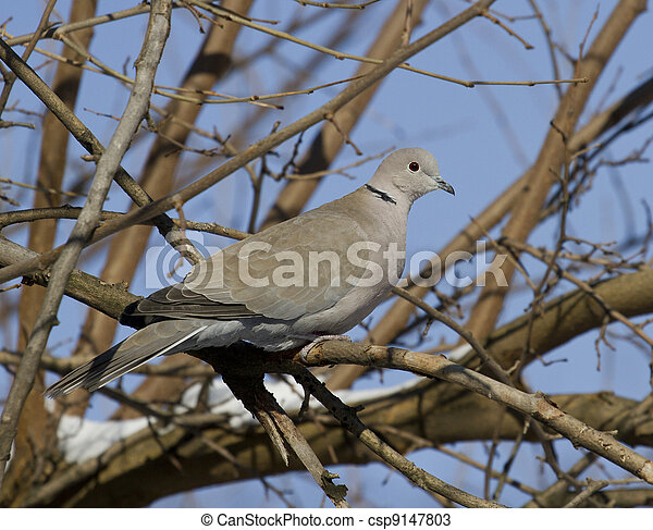 Collared Dove (Streptopelia decaocto)-1. - csp9147803