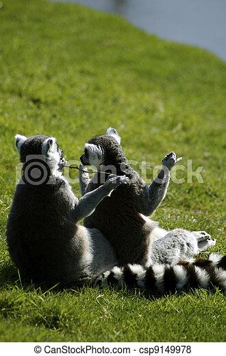 Ring-Tailed Lemurs (Comical) - csp9149978