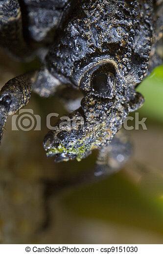 snout beetle - csp9151030