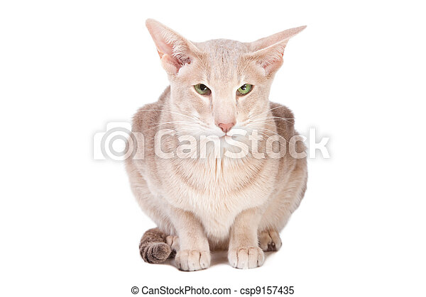 oriental cat sitting on isolated  white - csp9157435