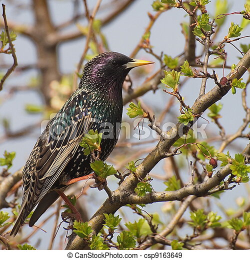 Common Starling, Sturnus vulgaris - csp9163649